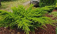 """Можжевельник Средний """"Минт Джулеп"""" Juniperus communis Sol С-80L  150-175"""