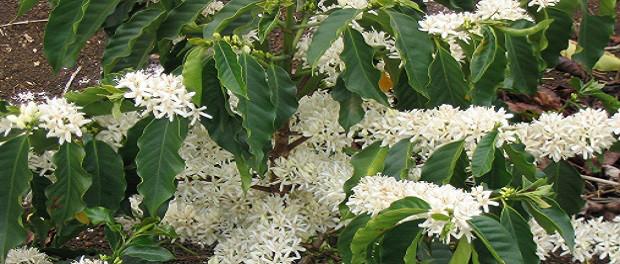 кофе арабика цветет дерево