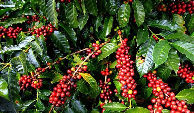 кофе арабика плоды дерева