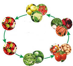 «Севооборот» в теплице – чередование овощей
