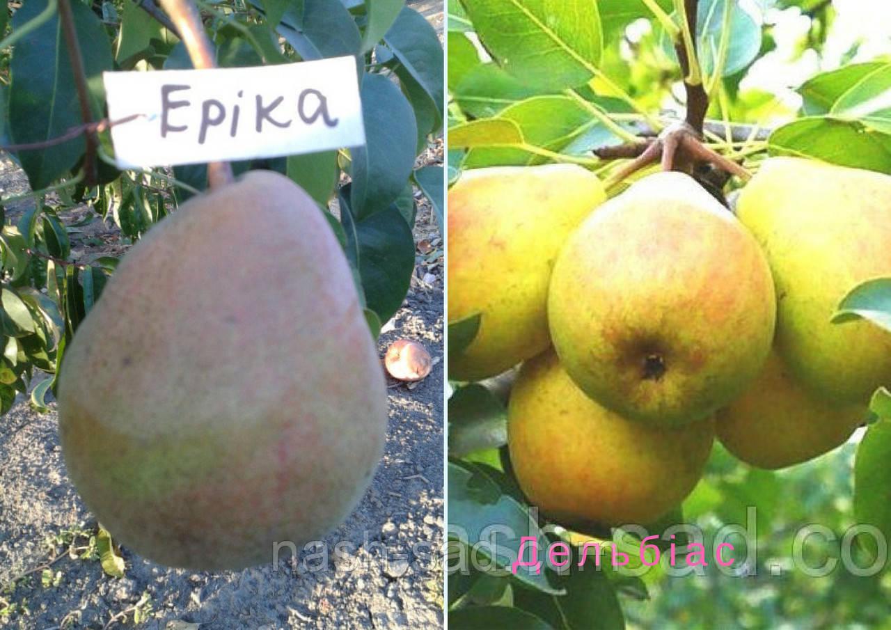 Саженцы груши Эрика + Дельбиас