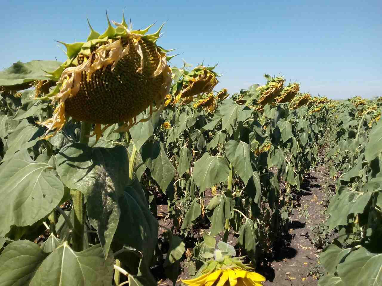 Семена подсолнуха Одисей ИМИ  под Евро - Лайтнинг