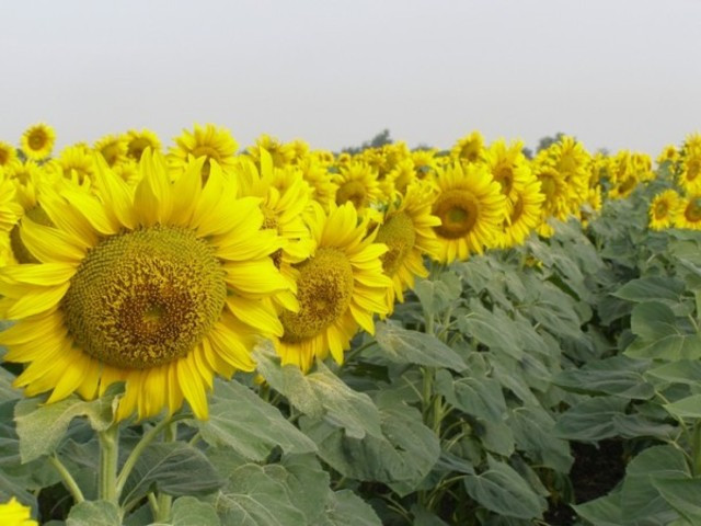 Купить Семена подсолнечника PR64H34