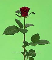 Роза 50см Красная