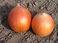 Семена лука  Универсо F1. 100 000 сем. Нунемс.