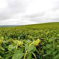 Семена подсолнечника сорт Азовский