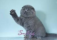 Купить шотландского котенка в киеве