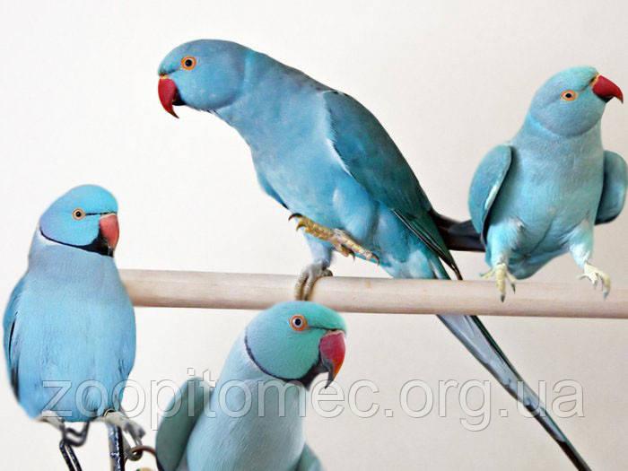 Ожереловый Кольчатый попугай голубого (синего) окраса