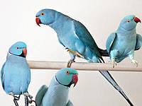 Ожереловый Кольчатый попугай голубого (синего) окраса, фото 1