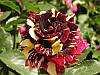Роза бордюрная Abra Sprey