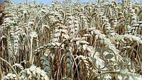 Семена озимой пшеницы сорт Богемия