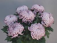 """Хризантема крупноцветковая """"""""Олебе фиолет"""" , фото 1"""