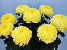 """Хризантема крупноцветковая """"""""Роялис лимон"""""""