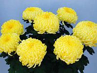 """Хризантема крупноцветковая """"""""Роялис лимон"""" , фото 1"""