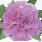Сурфиния Double Lilac