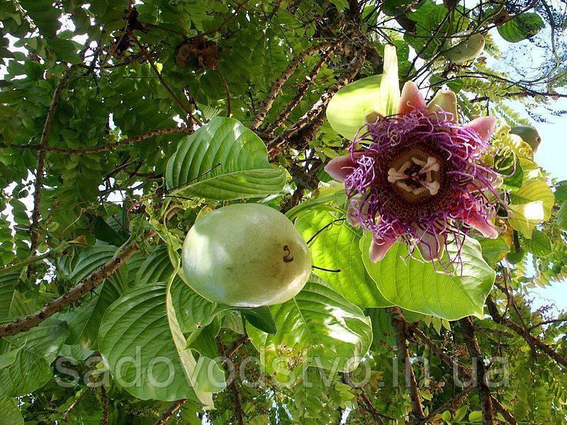Passiflora ambigua - Granadilla de Monte