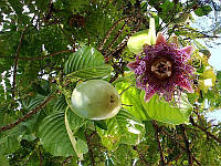 Passiflora ambigua - Granadilla de Monte, фото 1