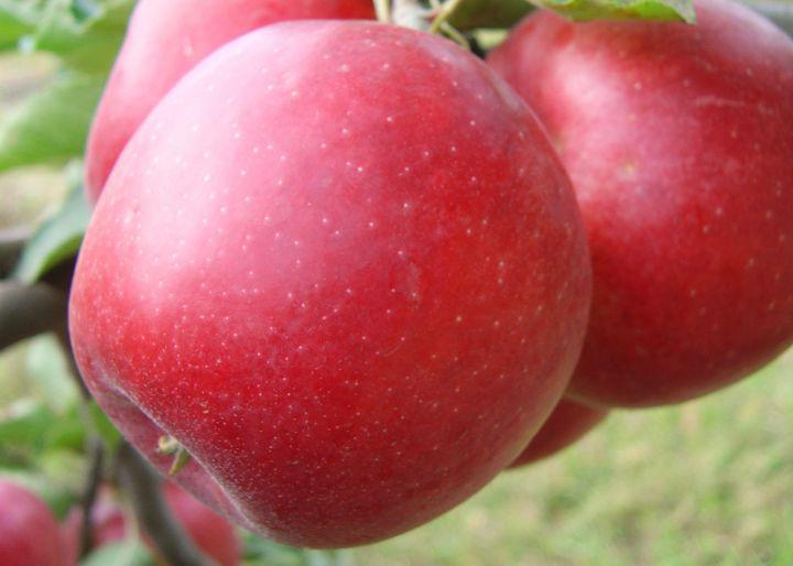 """Саженец яблони """" Приам"""""""