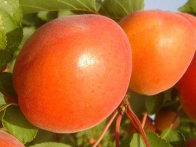 """Саженец абрикоса """"Киото"""""""