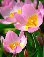 Тюльпан ботанический Saxatilis