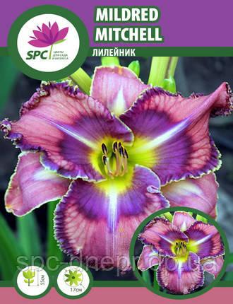 Лилейник  Mildred Mitchell, фото 2