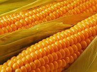 Купить Семена кукурузы ПР39Г32, фото 1