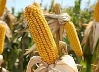 Семена кукурузы П8529, фото 1
