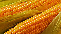 Семена кукурузы П8745, фото 1