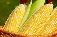 Семена кукурузы ПР39В45, фото 1