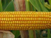 Купить Семена кукурузы П9175