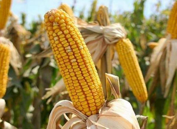 Семена кукурузы П9578