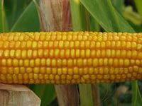 Семена кукурузы ПР38А22