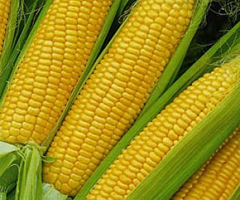 Купить Семена кукурузы ПР38А79