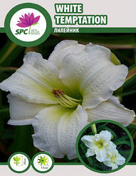 Лилейник  White Temptation