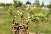 Особенности выращивания саженцев плодовых косточковых культур на различных типах подвоев.