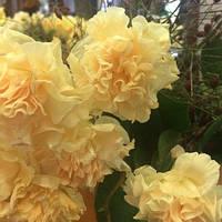 Нарцисс многоцветковый Dinky 12/14 3 шт