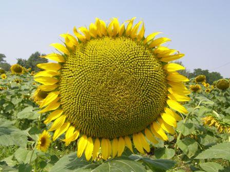 Семена подсолнечника Днєстр