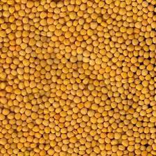 Насіння гірчиці жовтої ТАВРИЧАНКА еліта, 1 репродукція