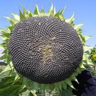 Купить Семена подсолнечника Аламо