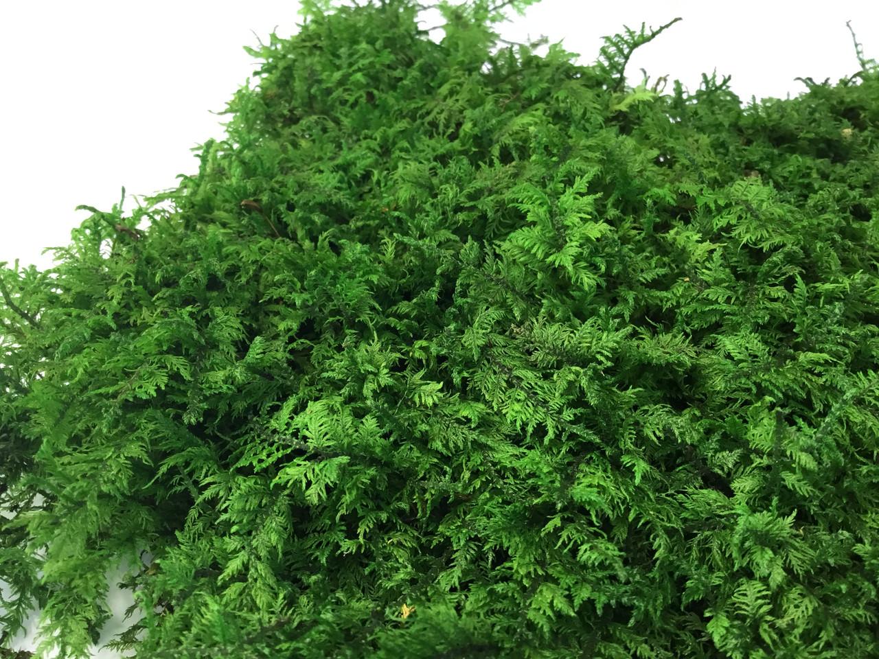 Папоротниковый мох стабилизированный