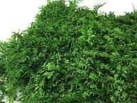 Папоротниковый мох стабилизированный, фото 1