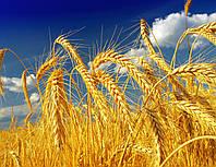 Насіння озимої пшениці Лісова Пісня еліта