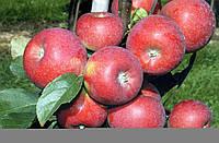Саженцы яблони Ариан( Франция )