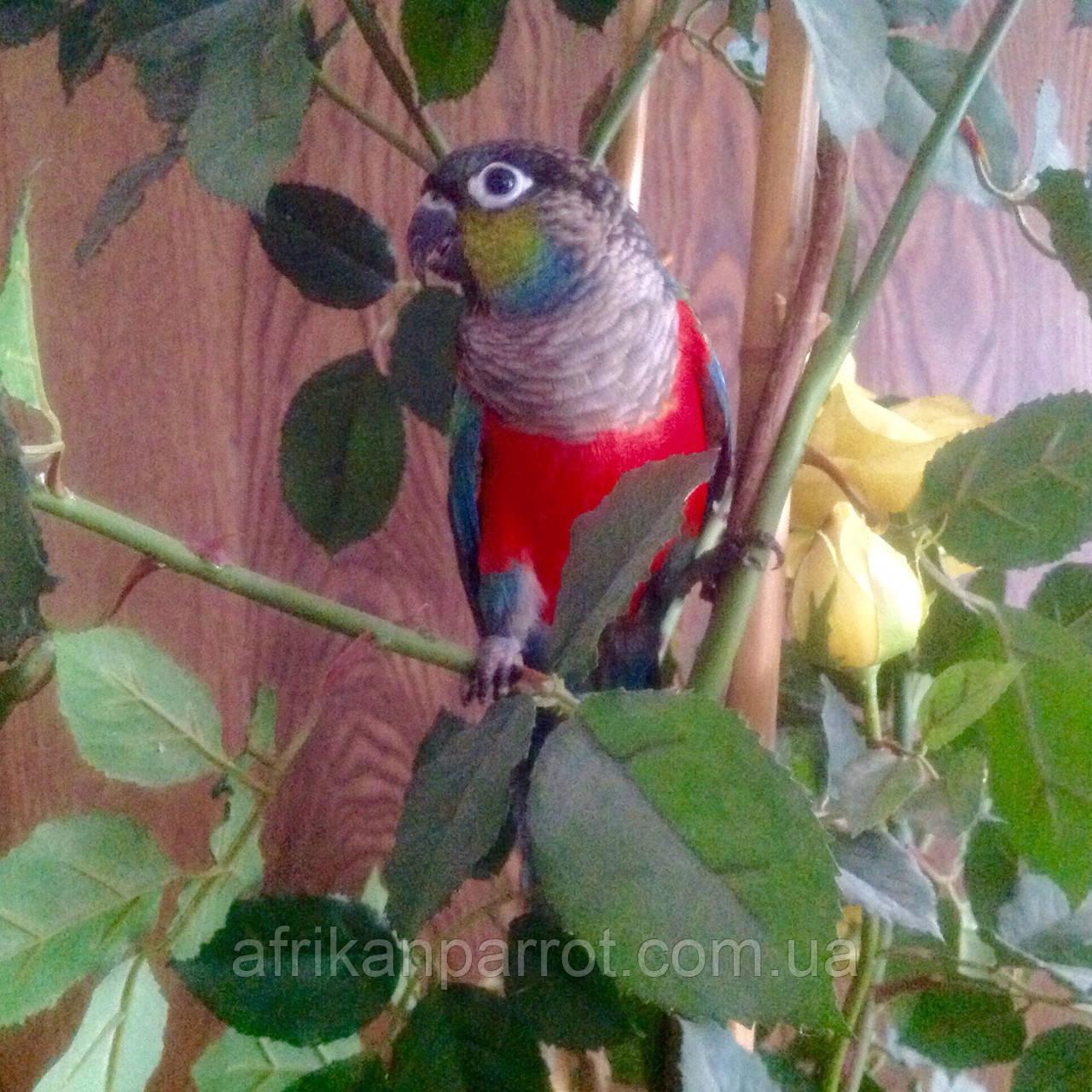Жемчужный пирруровый попугай