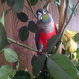 Жемчужный пирруровый попугай, фото 2