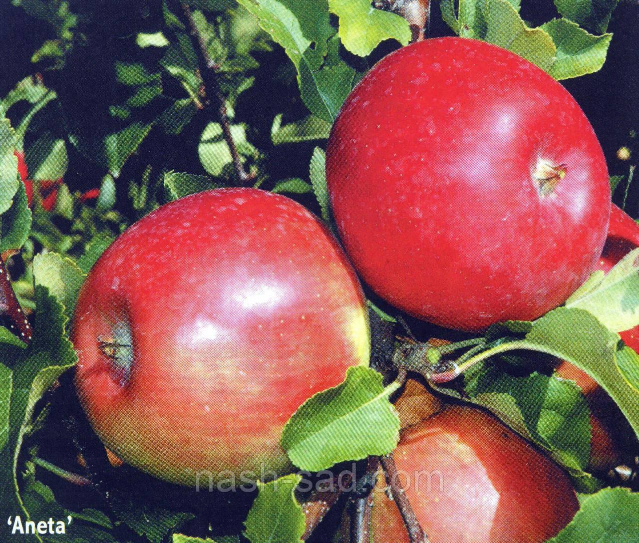 Саженцы яблони Анета (Чехия)