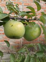 Саженцы яблони Ренет кубанский (Россия)