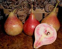 Саженцы груши Весильна ( Украина )