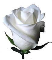 Саженцы роз Боинг, чайно-гибридная роза