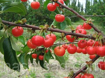 Саженцы вишни Ранний десерт(Украина)